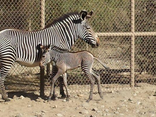 635696421753284718-TDSBrd-06-04-2014-DesertSun-1-A016--2014-06-03-IMG-Grevy-Zebra-Baby.jpe-1-1-7I7IFPPO-L428513624-IMG-Grevy-Zebra-Baby.jpe-1-1-7I7IFPPO