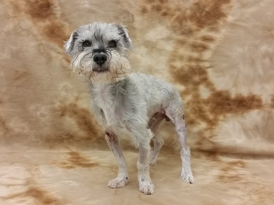 Featured Pet: I'm Buba! I'm a seven-year-old mini Schnauzer with a charming, sweet and attentive personality. I was hit by car and brought to Nevada Humane Society for care but now I'm ready to go to a new home! Won't you meet me today?