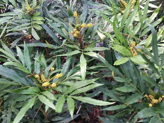 Chinese mahonia offers a nice texture with yellow blooms