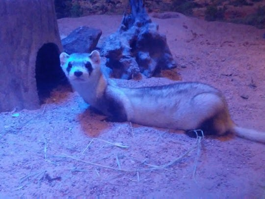The Abilene Zoo recently acquired a 5-year-old black-footed ferret named Paddy. The ferret will reside in the Elm Creek Backyard's nocturnal exhibit area.