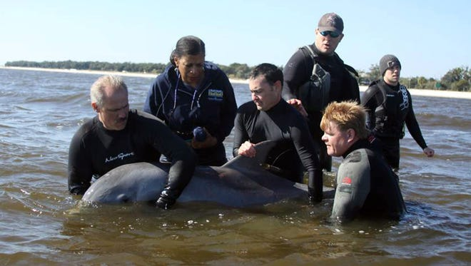 A 2-year-old female dolphin is released into the Mississippi Sound after it was found in a bayou near Henderson Point.