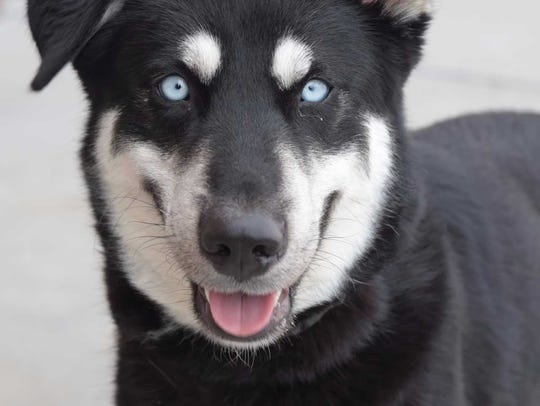 Bella - Female husky mix, adult. Intake date: 4/3/2017