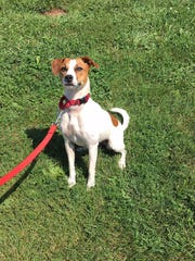 Sassy, a Jack Russell and terrier mix that loves to