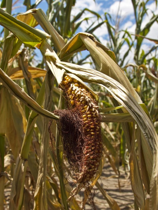 climate change - corn withers.jpg