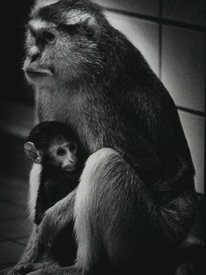 Small Silence, a baby patas monkey, clings to his mother at the Milwaukee County Zoo. This photo was published in the April 13, 1978, Green Sheet section of The Milwaukee Journal.