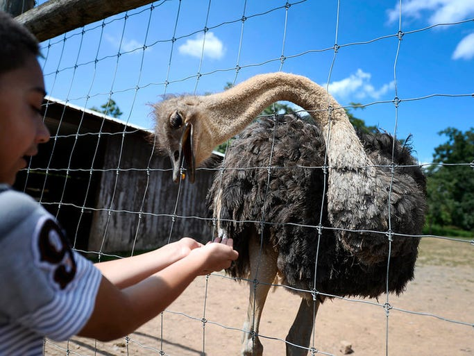 """""""An ostrich eats from the hands of Danilo Cardona,"""