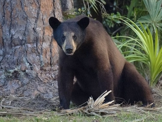 A black bear at Green Glades West hunting camp west of Fort Lauderdale squats next to a pine tree. Black bear reports to state biologists have risen consistently in recent years.