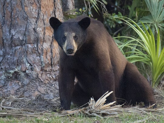 A young black bear rests near a pine tree. The state agreed Wednesday to open a bear hunt in October, although a second vote is required in June. Andrew West/ The News-Press