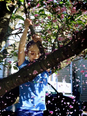 Ella Bahn, 9, shakes the blooms from the Japanese cherry tree in the front yard of her New Salem home Friday, May 11, 2018. She and her brother Henry, 7, were taking advantage of nice weather while waiting for their school bus. It will be a while before Yorkers see another full day a dry weather, since the National Weather Service is predicting rain through Saturday, May 19.