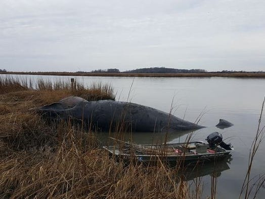 A humpback whale decomposes on the banks of the Cohansey
