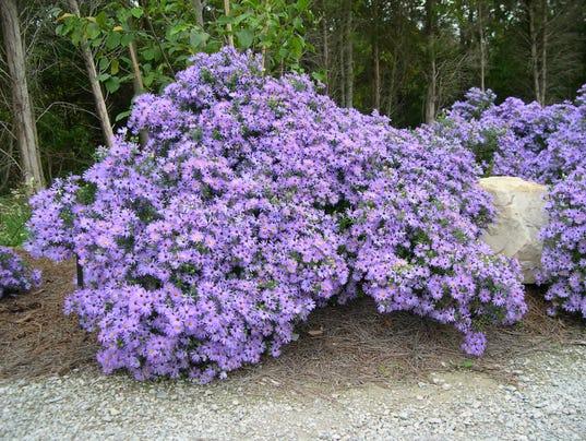Green Space Aromatic Aster A True Garden Gem
