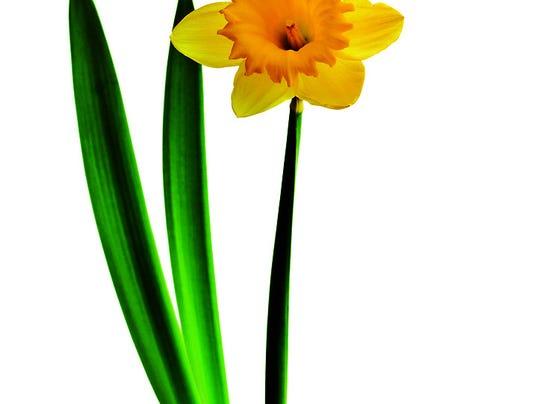 10BEST_SpringClean_Daffodill.jpg