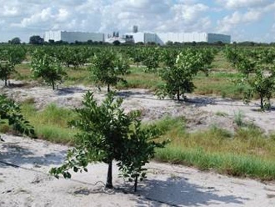 Young orange trees at Southern Gardens Citrus, a Clewiston-based