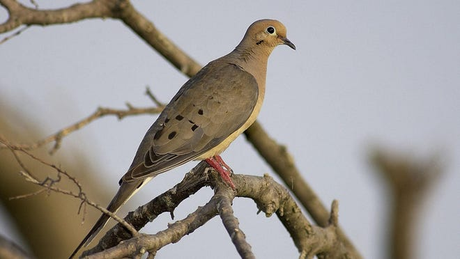 A mourning dove. Dove hunting season opens Tuesday in Missouri.