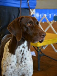 This German pointer was one of the competitors in the 2016 Pensacola Dog Fanciers Association All-Breed Dog Show. This year's event is Saturday and Sunday at the Escambia County Equestrian Center.