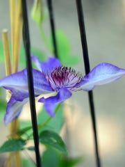 A clematis puts out its first bloom of the season. Vonnie Baye has 20 different varieties of the flowering climbers.