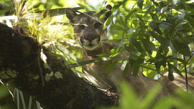 A florida panther waits in a tree on Monday, March 3, 2008, in the Big Cypress National Preserve near Ochopee.