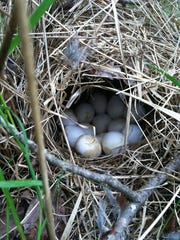 Researchers with NJ Audubon discovered three Bobwhite quail nests in the Pinelands after April's repopulation efforts.