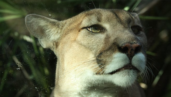 An example of a Florida panther.