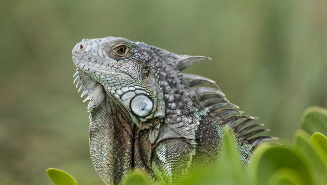 The green iguana is an invasive animal in Florida and are numerous in the Florida Keys.