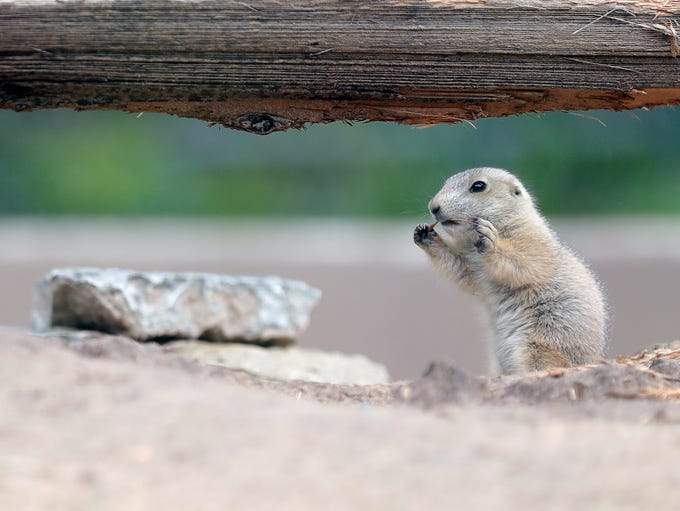 Five black-tailed prairie dog pups recently were born