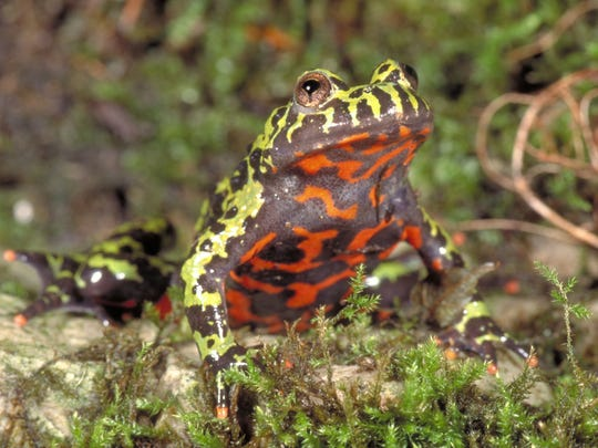 Poison dart frogs are a big attraction in 'Chorus of Colors.'