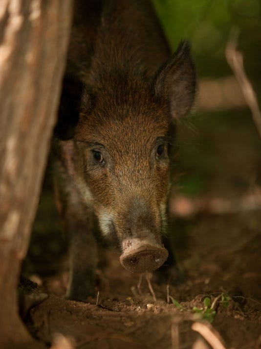 Wild Hog Problems Continue To Plague Parts Of The State