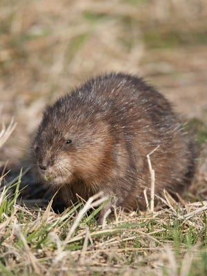 A muskrat eats grass along a pool of water early in the morning at Squaw Creek National Wildlife Refuge.