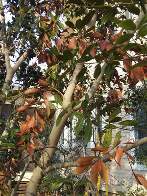 The discolored leaves on this bay laurel tree are the result of cold damage. It will be spring before the freeze's lasting impact is known.