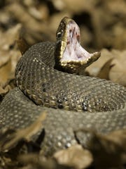 A cottonmouth gapes its mouth in a defensive posture,