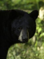 Black Bear sow sniffs an air for danger in Forsyth,