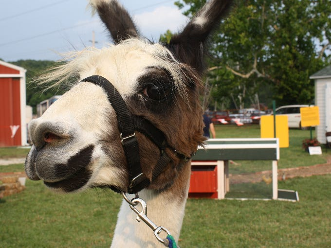"""Spotlight the lama features in the """"Little Hands on"""