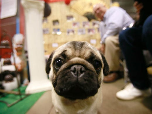 Dog show in Novi draws breeders, canine lovers