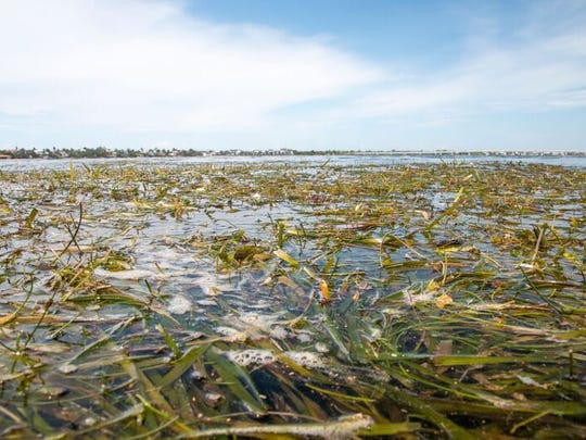 Sea grass washes ashore because of low salinity levels brought on by Lake O releases
