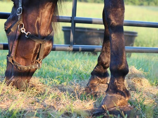 Skywalks Magical Dream grazes after Tawnee Preisner, founder of Horse Plus Humane Society rescued him from an auction Aug. 30, 2016.