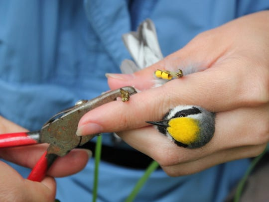 A New Jersey golden-winged warbler is banded.