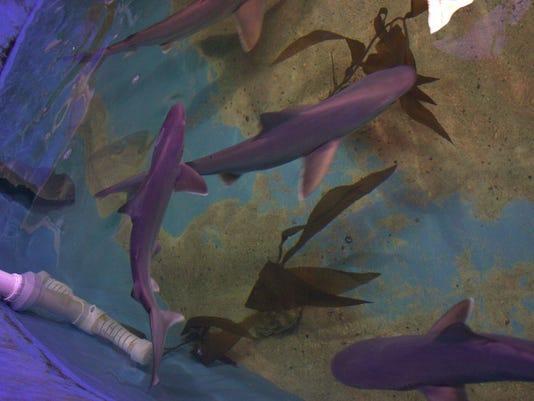LaGrangeville sharks.jpg