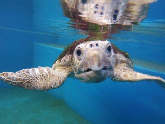 Lorraine, a sub-adult Loggerhead sea turtle weighing