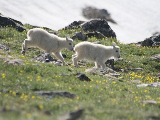 Mountain goat kids chase after mom near the Twin Lakes Headwall along the Beartooth Highway