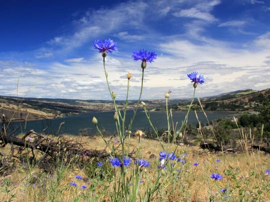 The Historic Columbia River Highway State Trail between Hood River and Mosier has a collection of wildflowers in spring and early summer.
