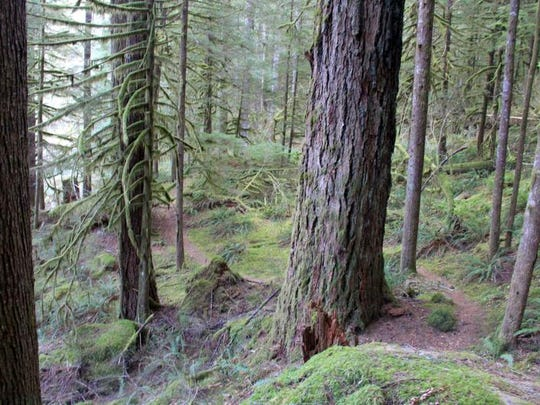 There are sections of old-growth forest along the Little North Santiam Trail.