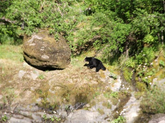 A black bear hangs out along the Rogue River. They are a common sight in the canyon.