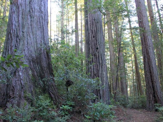Oregon Redwoods Trail is located on Oregon?s South Coast, near the town of Brookings. It?s one of only two places in the state where redwoods can be found.