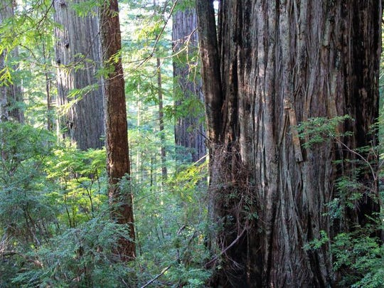 Looking out into a grove of trees on Oregon Redwoods Trail.