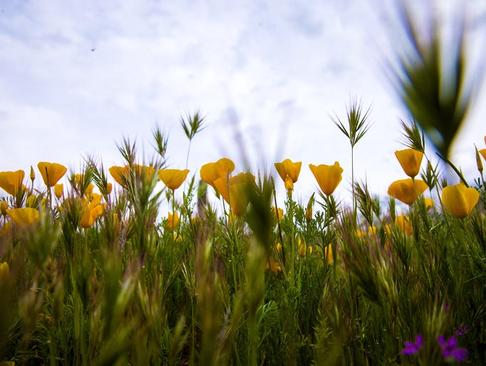Mexican gold poppies bloom in the desert off the Bush