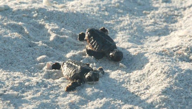 Turtle nesting season runs from Sunday, May 1, through Oct 31.