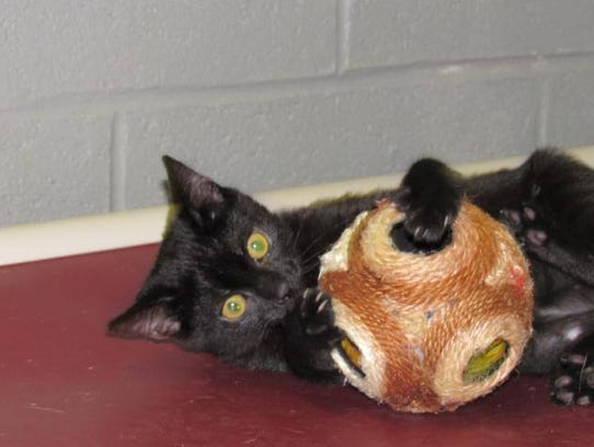 Jojo loves to snuggle and purr. She also loves to play