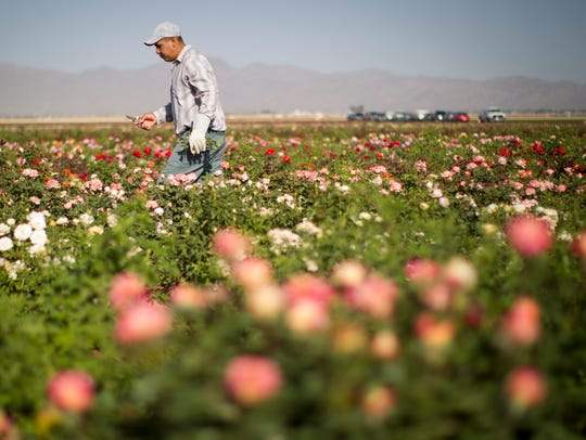 Farm workers pull weeds from a field of roses at the