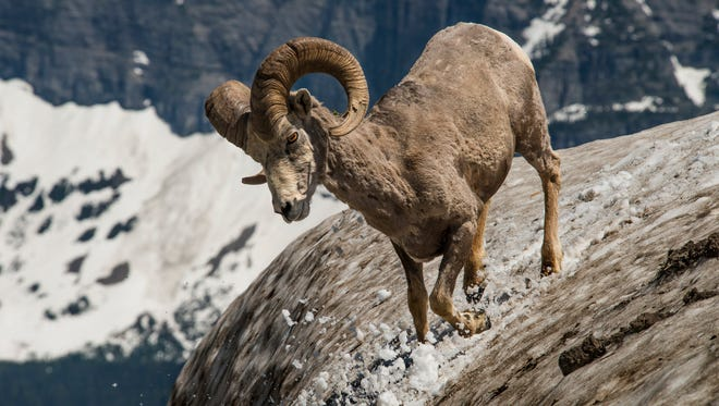 The amazing scenery of Glacier National Park is only half of the visitor experience. Seeing majestic wildlife like this bighorn sheep will help you realize why this place is so special.