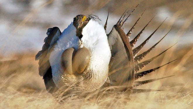 "FILE - In this April 15, 2008 file photo, a male sage grouse performs his ""strut"" near Rawlins, Wyo.  U.S. Agriculture Secretary Tom Vilsack plans to announce Thursday, Aug. 27, 2015 that his agency plans to spend more than $200 million over the next three years on programs to protect greater sage grouse, regardless of whether the bird receives federal protections. Vilsack told The Associated Press he wants to almost double protected habitat for the chicken-sized bird to 8 million acres across the West. (Jerret Raffety/The Rawlins Daily Times via AP, File) MANDATORY CREDIT"